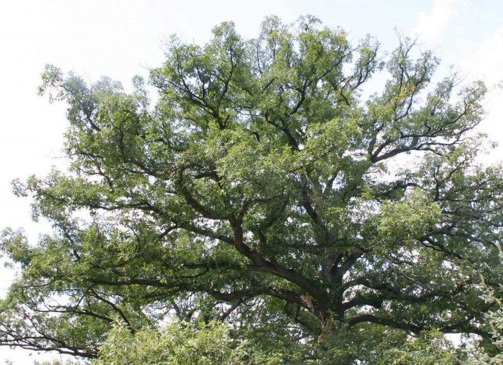 Whtie oak quercus alba